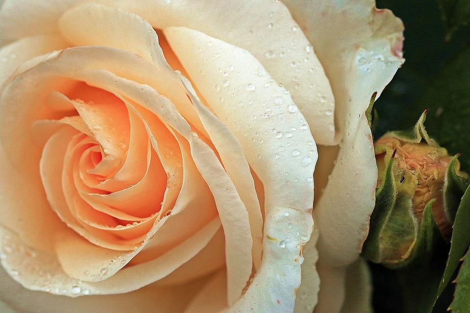 rose-2088800_960_720